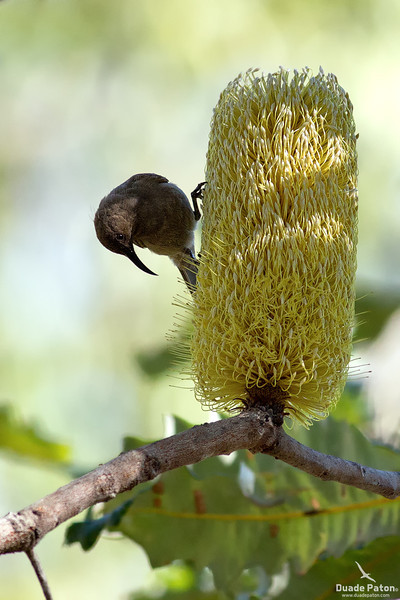 Dusky Honeyeater