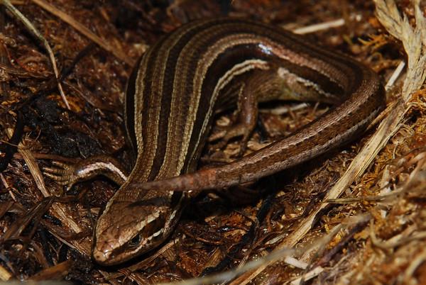 New Zealand grass skink - Oligosoma polychroma