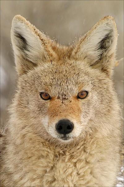 Coyote Stare Antelope Island Utah.jpg