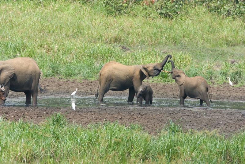Elephants at Langoue Bai.