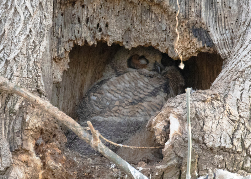 Great Horned Owlet in Tree Cavity