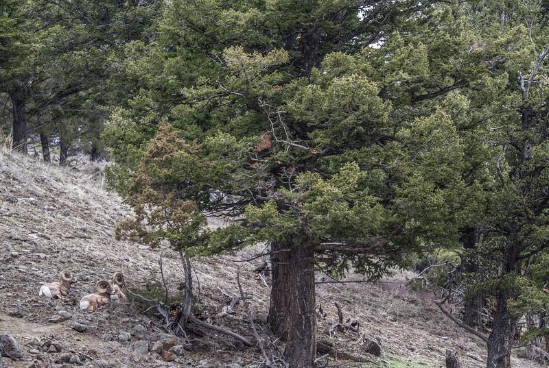 Bighorn rams near Soda Butte Yellowstone National Park WY IMG_0147.jpg