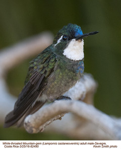 White-throated Mountain-gem M82490.jpg