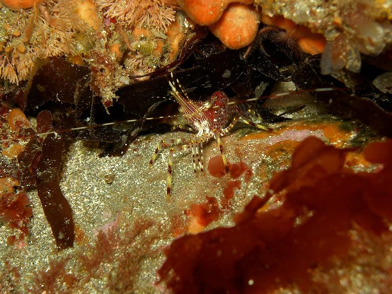 Coonstripe Shrimp