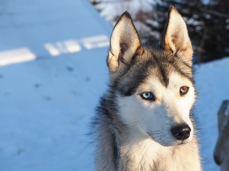 Sled dog at Tromsø Villmarkssenter in Norway