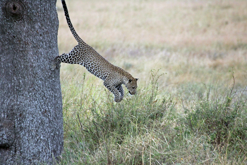 Serengeti -  Leopard - Cool...