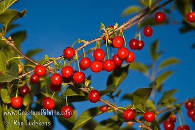 English Morello Cherry - Prunus cerasus sp.