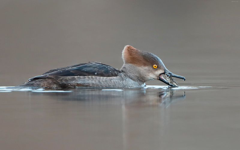 Hooded Merganser with catch
