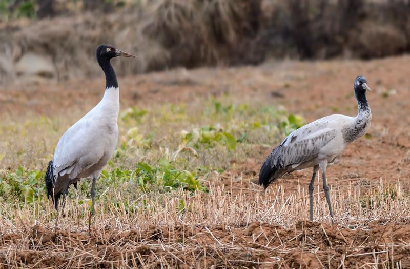 Black-necked-cranes-field-phobjika.jpg