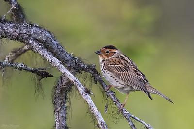 Sparrows & Finches / Sparvar & finkar