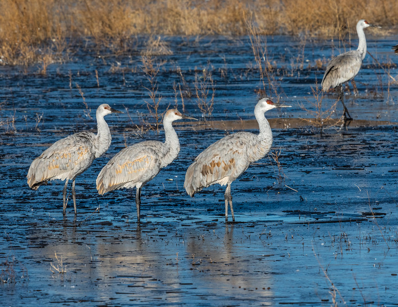Greater sandhill cranes (Antigone canadensis).  Bosque del Apache National Wildlife Refuge in the Middle Rio Grande Valley. San Antonio, New Mexico.  There are several populations of greater sandhill cranes.  The  Rocky Mountain population is the most numerous subspecies of sandhill cranes to winter in Bosque del Apache.  This subspecies is the largest of all sandhill standing up to four feet tall with a wing span greater than six feet .  In February, the cranes leave their wintering grounds in New Mexico and join with other populations in the Platt River valley near Kearney, Nebraska to rest and build their strength prior to their mid-April migration to northern Canada, Alaska, or Siberia.