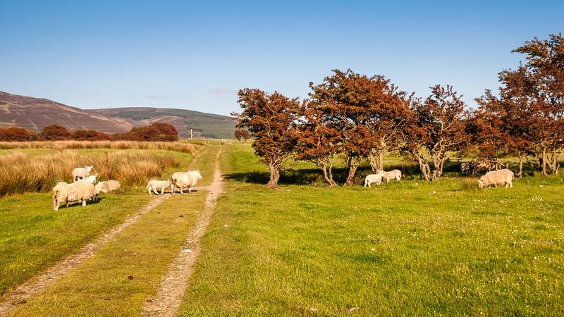 Isle of Arran sheep