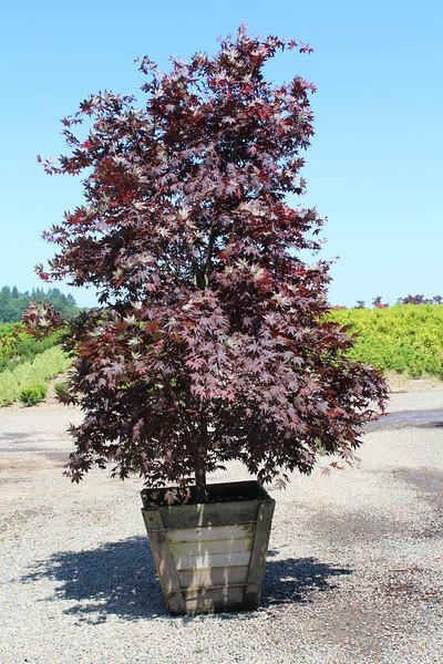 Acer palmatum 'Bloodgood' Specimen, 2.5 in, #30 box.JPG