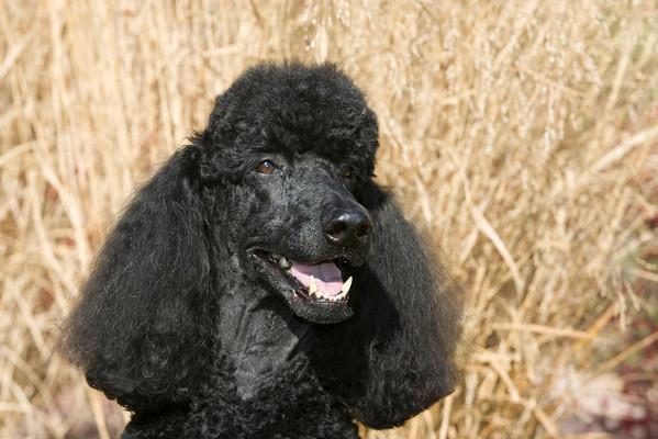 Standard Poodle SM