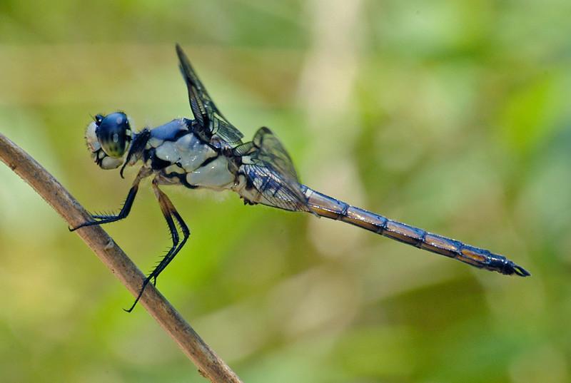 Libellula vibrans (Great Blue Skimmer), GA - male