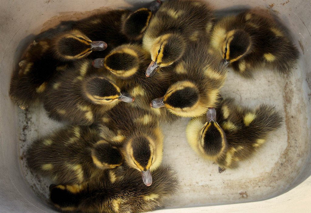 . Twelve of the fourteen ducklings were saved. Two died.