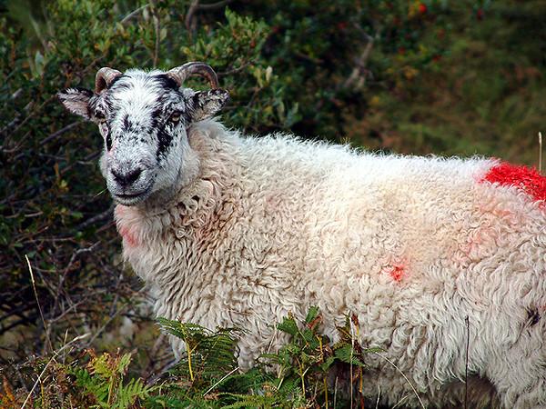 County Kerry - Sheep