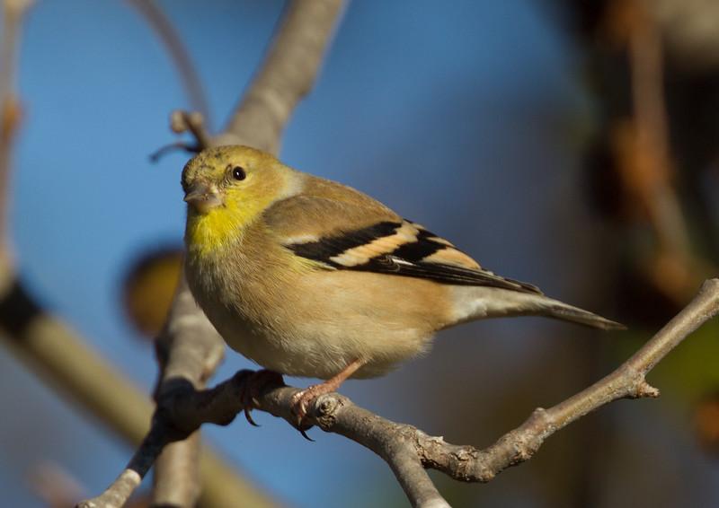 American Goldfinch  Encinitas 2015 12 01-2.CR2