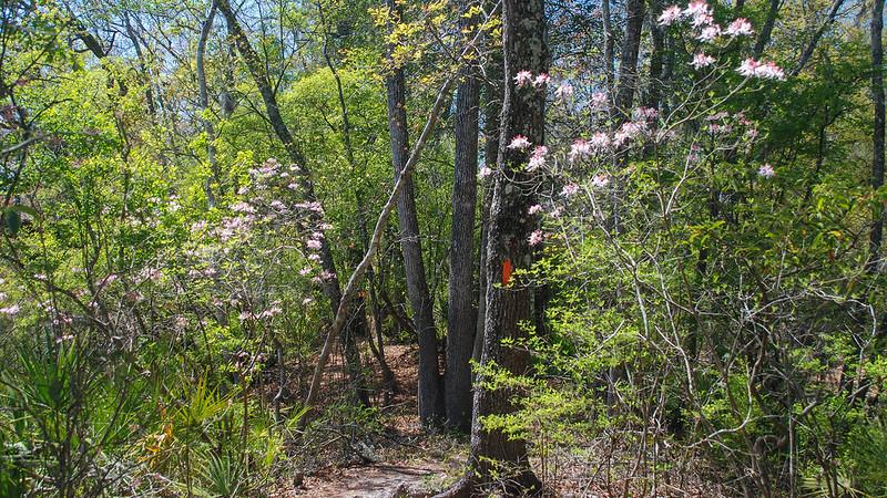 Azaleas blooming at Stephen Foster