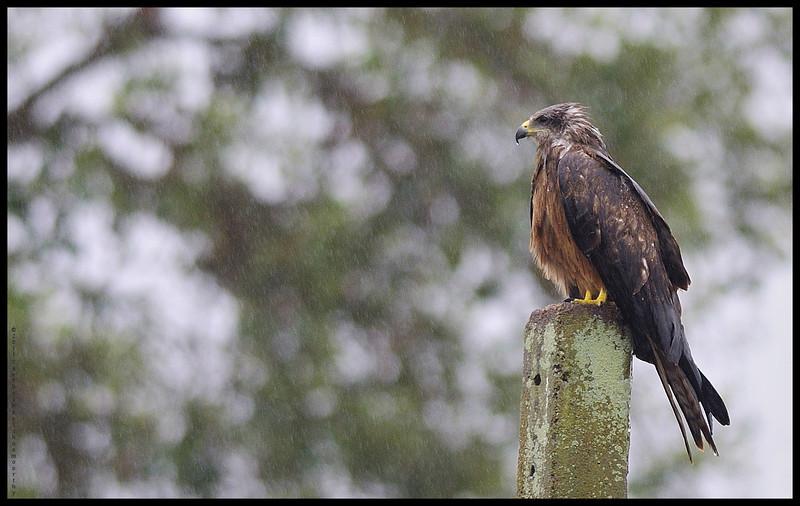Black Kite in rain....