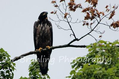 Decorah Eagles 2013