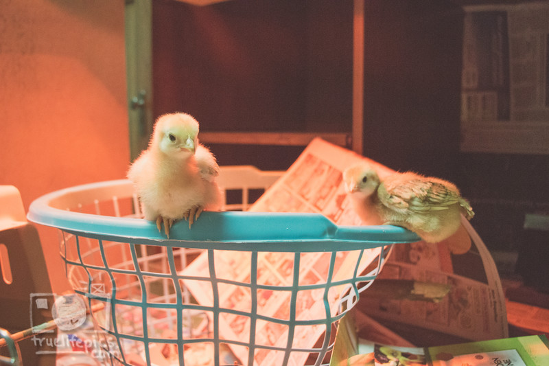 March 27, 2017 Chickens in the shop (6).jpg
