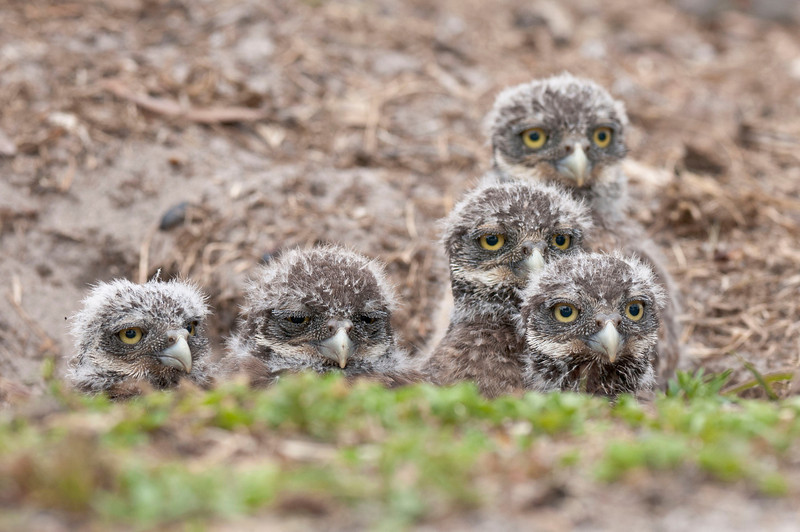 Baby Burrowing Owl Siblings Brian Piccolo Park Cooper City, FL © 2012
