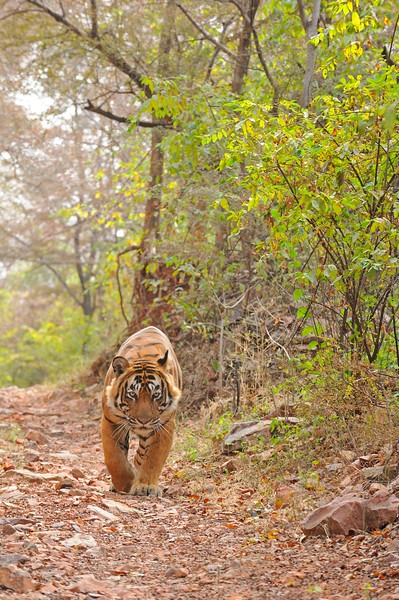 Male tiger in the dry deciduous habitat of Ranthanbhore tiger reserve