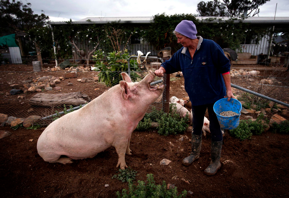 . Farmer Lindy Haynes rubs the snout of her favorite pig named \'Peanut\' outside her home on her property known as \'Pigsville\' in the New South Wales town of Mudgee, located 250 km (155 miles) west of Sydney March 2, 2013. Haynes believes that all farm animals should be \'free range\', and allows the pigs, chickens, cats and dogs on her farm to move freely in and out of her house, with most sleeping inside at night. Picture taken March 2, 2013.    REUTERS/David Gray