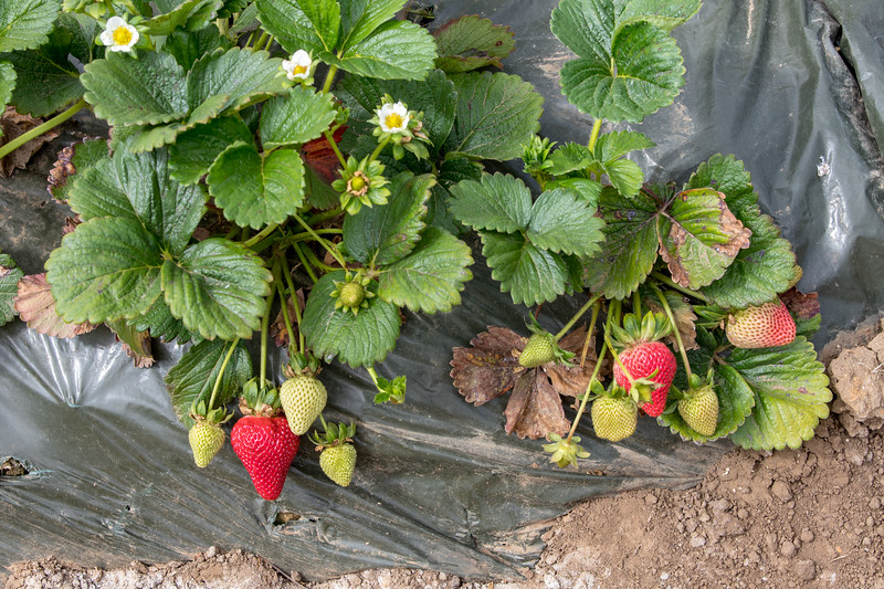Strawberry-0888.jpg
