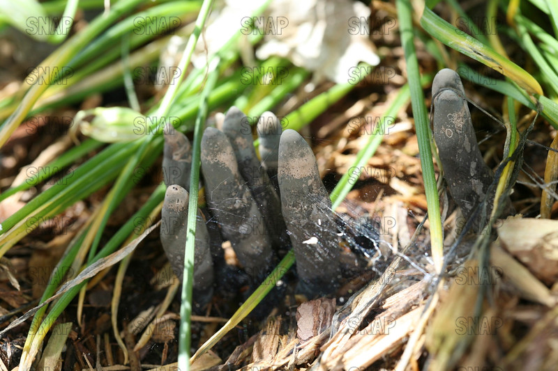 Dead Man's Fingers (Xylaria polymorpha).