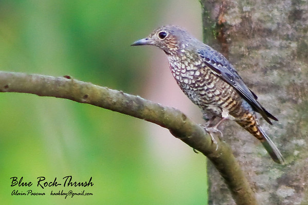 Shamas, Thrushes