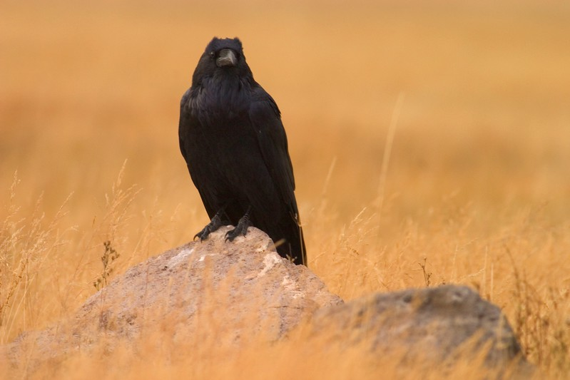 Ravens are extremely wary birds in Minnesota...But they are quite approachable in Yellowstone [September; Yellowstone National Park, Wyoming]