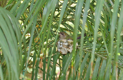 Hummingbird Nesting 2012