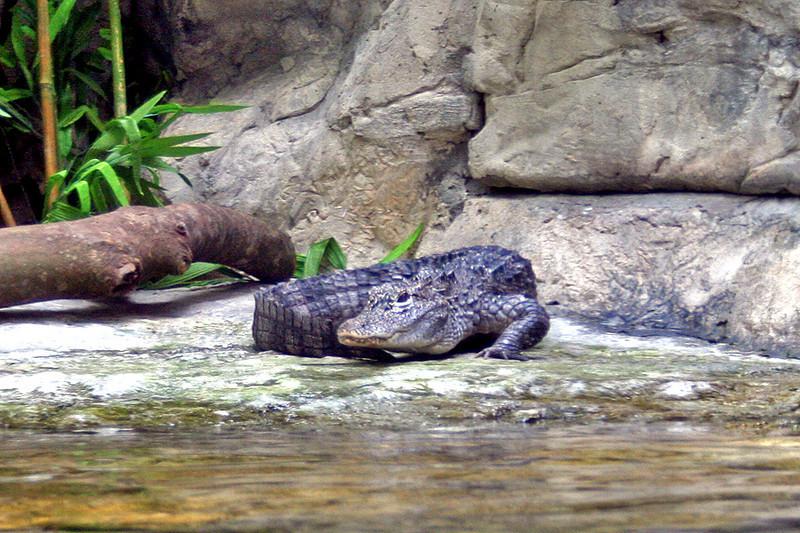 Ocean Park, Crocodile