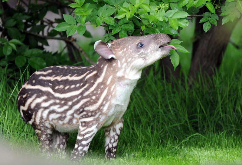 Description of . Baby tapir Parima enjoys some leaves during its first outing at its open air enclosure of the Tierpark Hagenbeck zoo in Hamburg, northern Germany, on May 15, 2012. Parima was born on May 1, 2012 at the zoo and is named after a nature protection area in Venezuela.         DANIEL REINHARDT/AFP/GettyImages