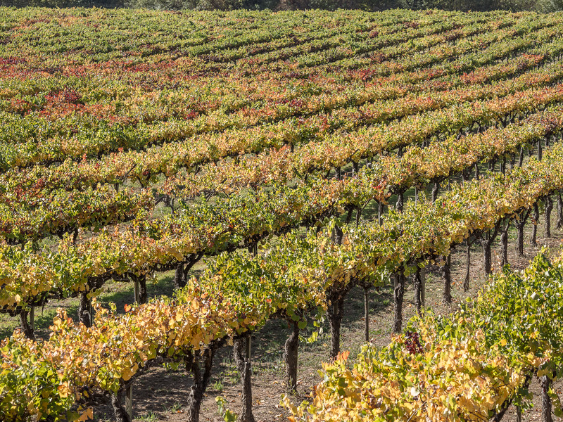 Vineyard in Northern California in the Autumn