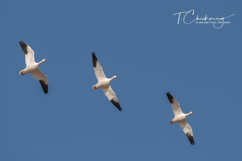 Snow Geese in Flight Eight - Copy.jpg