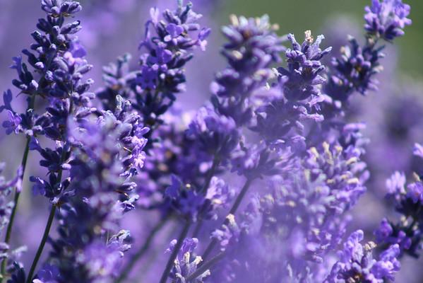 Sequim Lavender Festival 2008