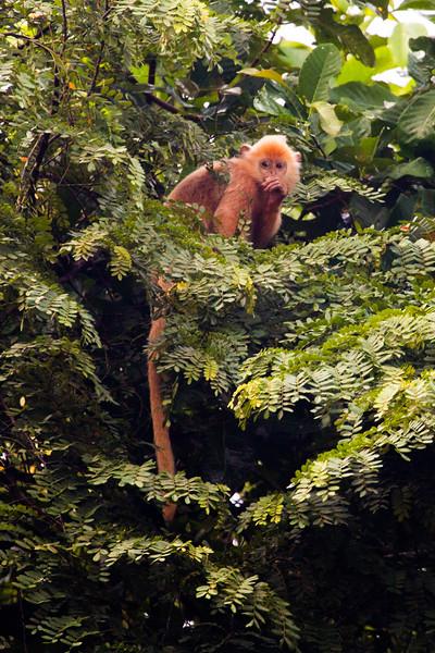 Juvenile Silvered Leaf Monkey