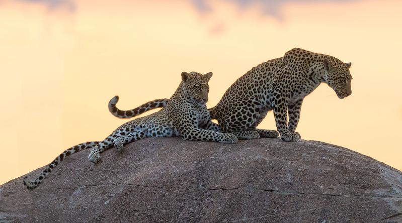 Leopard Pair - Master.jpg