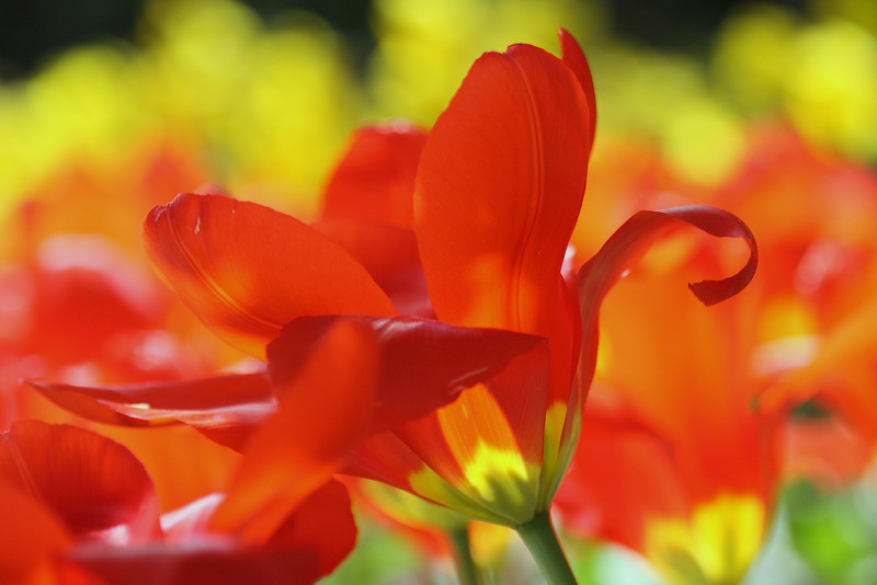 Tulips 08 019.JPG