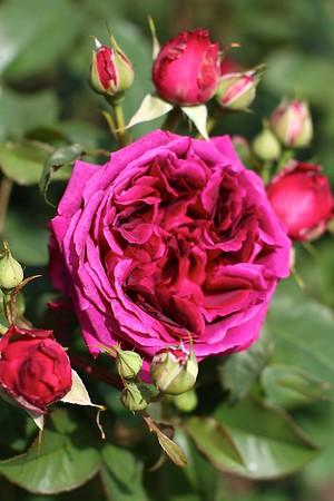 Portland Rose Garden 5-25-14