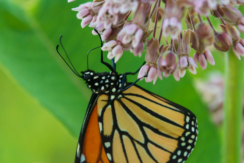 Monarch-springfield-bog.jpg