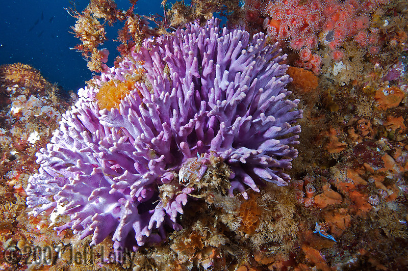 """Jeff Laity Hermissenda Crassicornis nudibranchs frolic on the Purple Hydrocoral Farnsworth Banks, Catalina Canon 5D / Ikelite housing / Inon Strobes """"At least 4 nudies in this photo"""""""