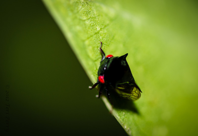 INSECT - leafhopper very tiny-1.jpg
