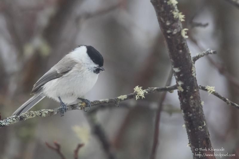 Willow Tit - Hokkaido, Japan