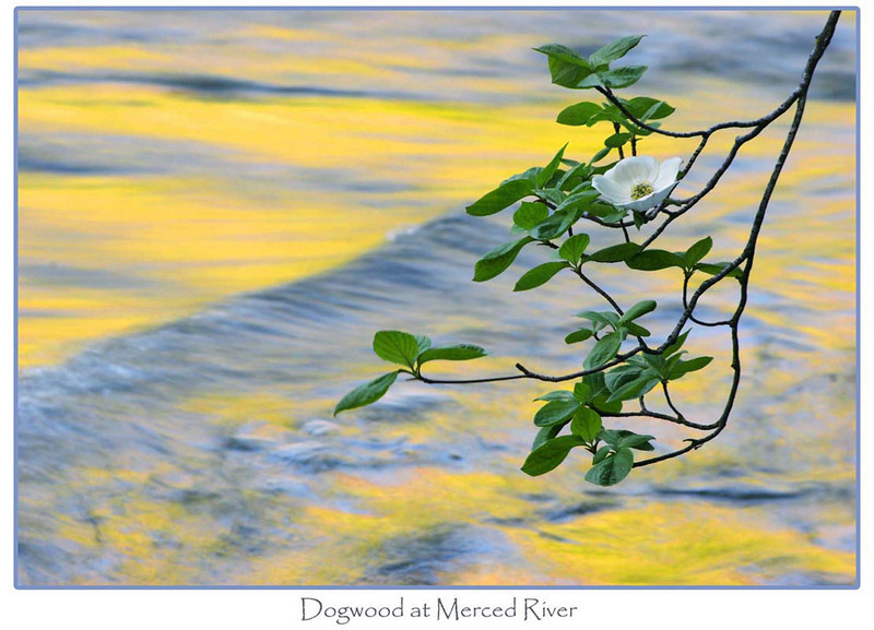 Dogwood at Merced River, California