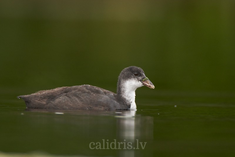 Eurasian Coot (juv.) swims