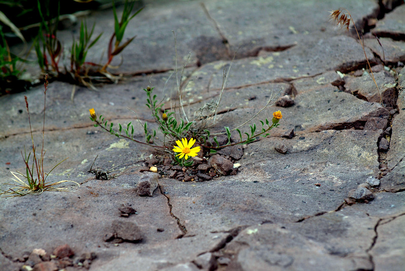 yellow_flower_on_rock_345-53.jpg